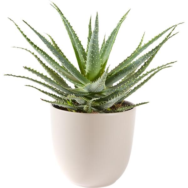 Aloë Vera vetplant met pot