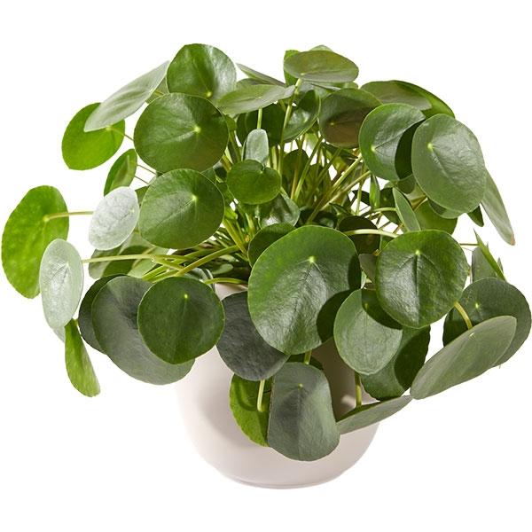 Pannenkoekplant met pot