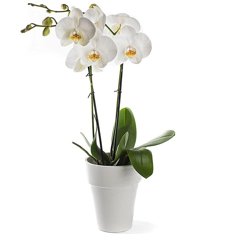 Phalaenopsis Orchidee in pot